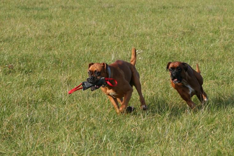 Boxer rennen um die Wette