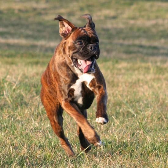Boxer rennt